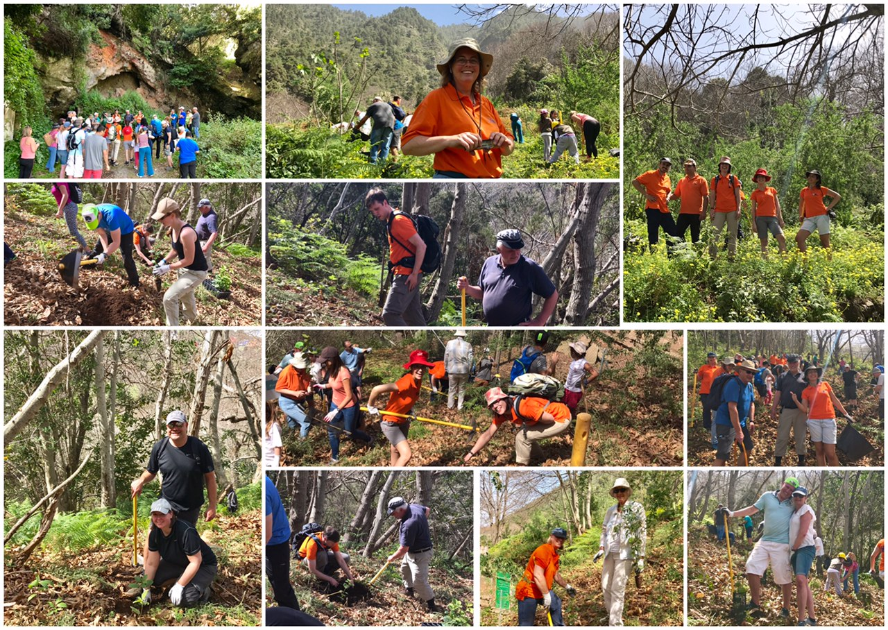 Tree planting in the Orotava area
